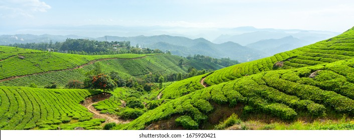 Panoramic view of the tea plantation in the hills of Munnar, some of the most elevated tea plantations in the world, Kerala, India