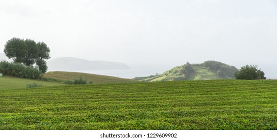 Panoramic view with a tree and hills from the tea plantation of Gorreana near Ponta Delgada, Sao Miguel island, Azores, Portugal
