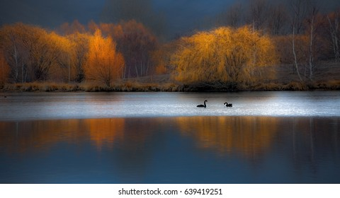 Panoramic view of two black swans swimming in lake with autumn colored trees in background