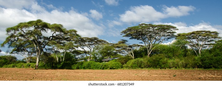 Panoramic view of a typical African landscape with beautiful Acacia trees, dry yellow soil in the foreground and blue sky with white clouds in the background. Captured in Ethiopia, Africa.