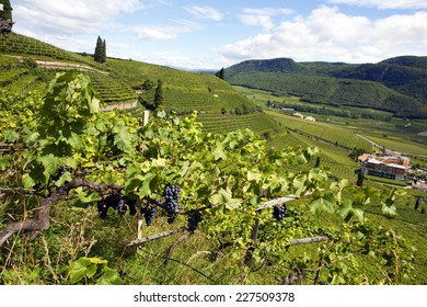 Panoramic view of a vineyard in Alto Adige (Italy)