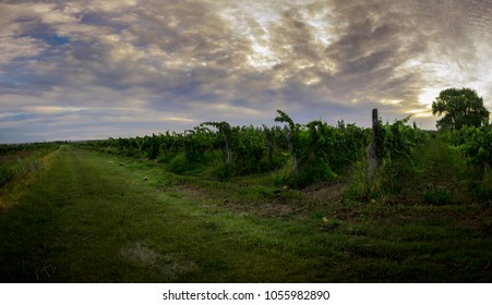 Panoramic view of a vineyard. To the left a way full of grass can be seen. Sunset in the valley of Patagonia in Argentina.