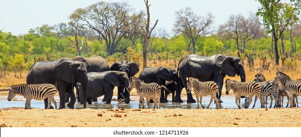Panoramic View of a Waterhole in Hwange national park with large herd of elephants and zebras with a pretty bushveld backdrop and clear blue sky - Heat Haze is visible