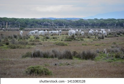 panoramic view of the wild nature in the Maremma natural park with a herd of grazing Maremma cows