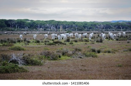 panoramic view of the wild nature in the tuscan Maremma natural park with a herd of grazing Maremma cows