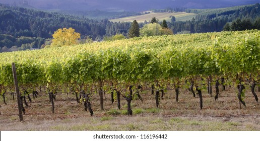 A panoramic view of a Willamette Valley vineyard in Oregon's Willamette Valley wine country with a neighboring vineyard seen in the distance.