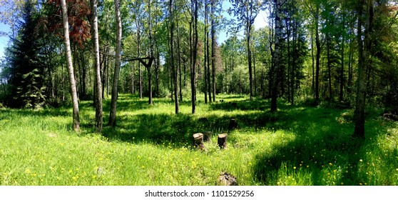 Panoramic view of the woods with lush grass