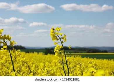 A panoramic view of a yellow field of raps