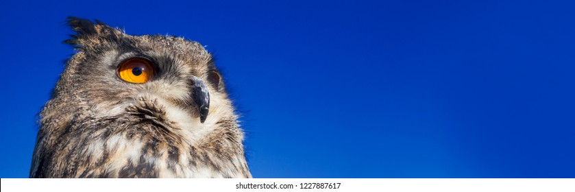 Panoramic web banner, European or Eurasian Eagle Owl, Bubo Bubo, with big orange eyes against a dark blue evening night sky