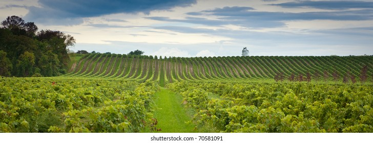 Panoramic wine image. This image is a panoramic shot of the grape fields in Canada showing the rows and rows of grapes ready to be harvested