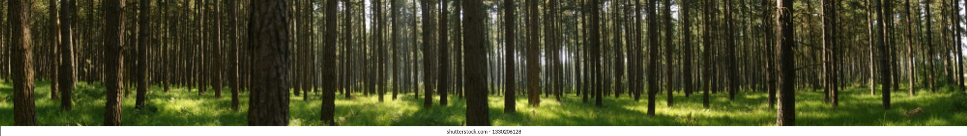 panoramical image of a pine forest in the natural reserve 'de Zoom - Kalmthoutse Heide' in the nord of Belgium on the frontier of the Netherlands