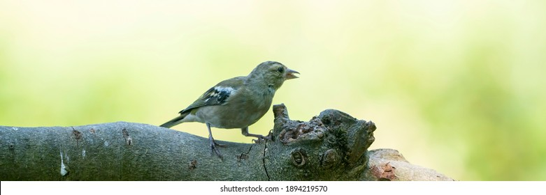 Panorma of a pretty female house finch perched on a branch in a tree in summer. Social media or long cover