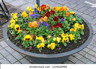 Pansies autumn  gentle red  yellow and blue flowers grow in an old metal  modern steel street flowerpot.  Cloudy November day urban shot