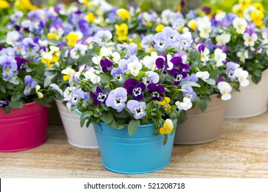 Pansies in colorful pots in a garden setting
