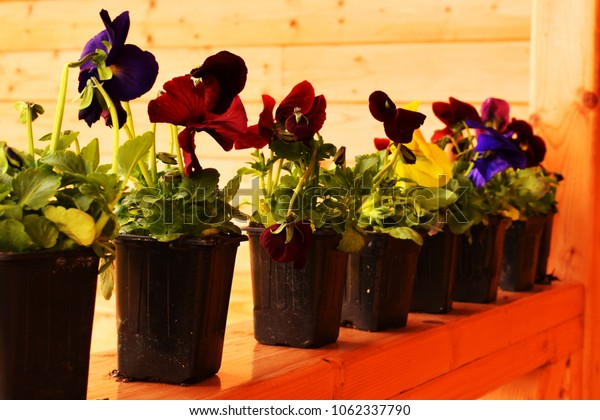 Pansies of different colors put in line