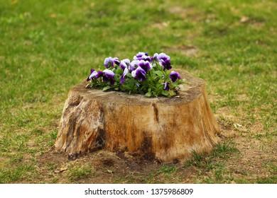 Pansies flowerbed made inside a stump. DIY landscape design
