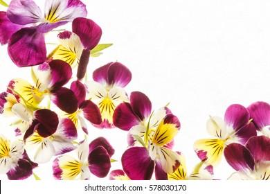 Yellow Pansies Images Stock Photos Vectors Shutterstock
