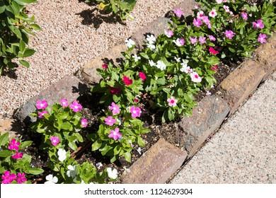 Pansies in landscaping, diagonal
