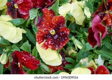 Pansies in a park after a rain - Shutterstock ID 1996309016