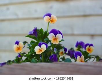 Pansies planted around garden decking