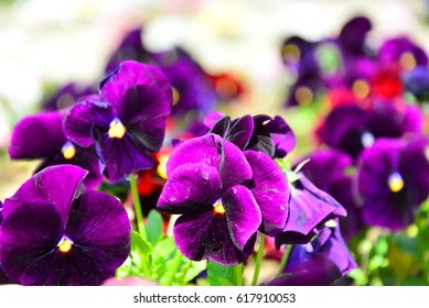 Pansies, viola delicate, full, foil, with a yellow center close-up