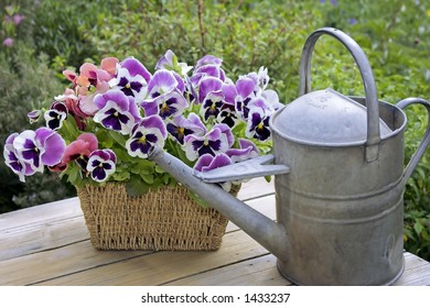 pansies with watering can