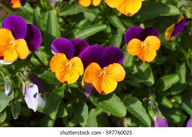 Pansy - Shutterstock ID 597760025