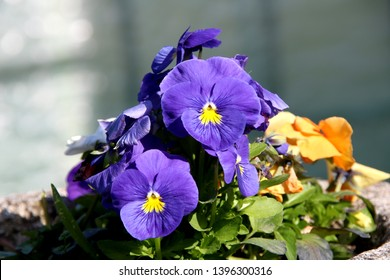 Pansy is a amazing flower and its colour combination is great. Viola tricolor var. hortensis. Viola Wittrockianna. Beautiful multi-colored flowers pansies.