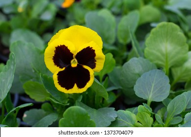 Pansy flower Carneval Early Yellow with Blotch F1 (viola wittrotckiana) in a greenhouse, with yellow, dark brown petals, wings
