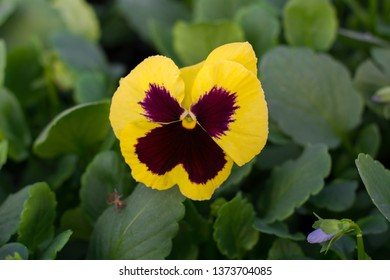 Pansy flower Carneval Early Yellow with Blotch (viola wittrotckiana) in a greenhouse, with yellow, dark brown petals, wings