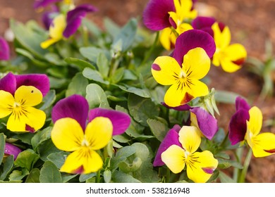 Pansy flower ,Flowers for exhibit in the gardens. - Shutterstock ID 538216948