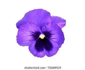 Pansy flower, isolated on white