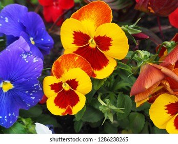 Viola Flower Images Stock Photos Vectors Shutterstock