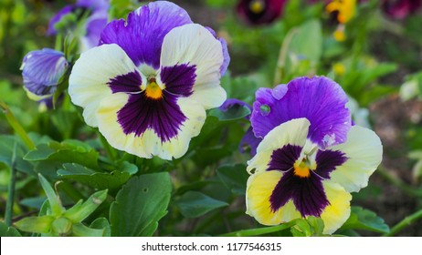 Pansy Flowers. Edible. Viola tricolor flower close up