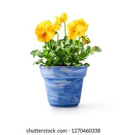 Pansy flowers in flowerpot isolated on white background. Spring garden  yellow viola tricolor plant as design element