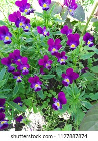 Pansy flowers in the garden