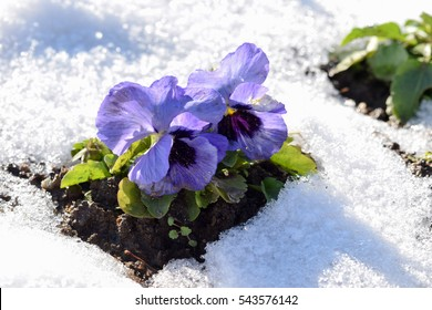 pansy flowers in snow