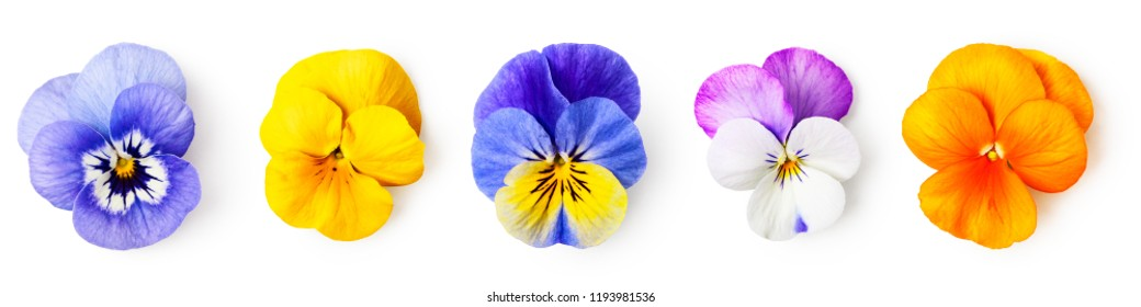 Pansy flowers or spring garden viola tricolor collection isolated on white background. Flower arrangement and floral design. Top view, flat lay banner