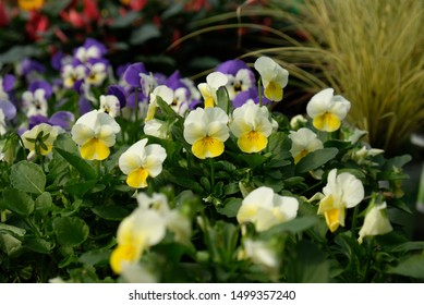 Pansy, pansies, tricolor, yellow and blue blossoms