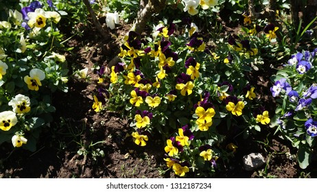 Pansy is a popular cultivated viola with flowers in rich colors, with both summer- and winter-flowering varieties.