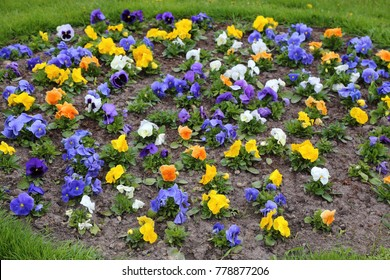 Pansy - popular cultivated viola with flowers in rich colors. Spring field.