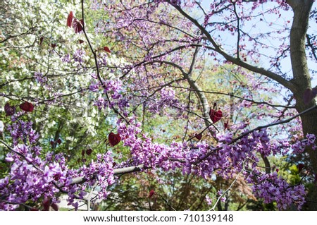 Pansy redbud tree bloom close pink stock photo edit now 710139148 pansy redbud tree in bloom close up with pink flowers and red heart shaped leaves mightylinksfo