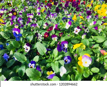 Pansy - viola flowers and plants