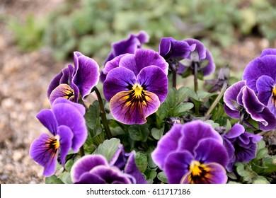 Pansy – Viola x wittrockiana.