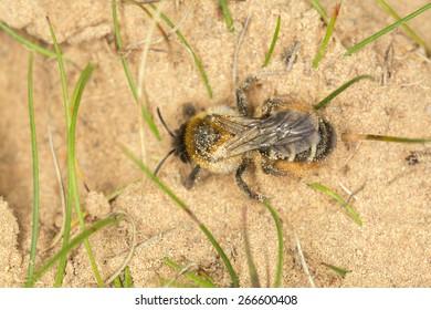 Pantaloon bee, Dasypoda hirtipes digging in sand