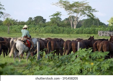 Pantanal cowboy with a herd of young horses in the Southern Pantanal. Mato Grosso do Sul, Brazil.