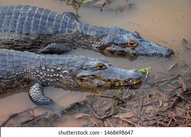 Pantanal Two Broad-snouted caiman side by side, like brothers, on the edge of the swamp. Brazilian wetlands. Pantanal Brazil.