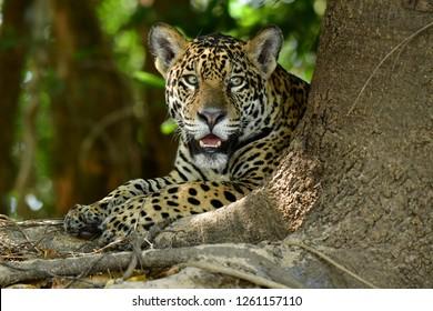 Pantanal's Jaguar
