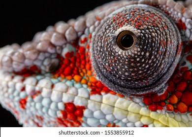 Panter Chameleon, furcifer pardalis, photographed on a plain background
