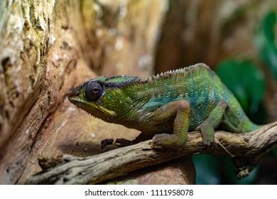 Panther Chamaleon camaleon madagascar lizard portrait